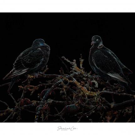 Wood Pigeons in my Apple Tree