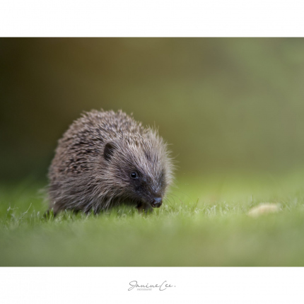 Hedgehog in my garden