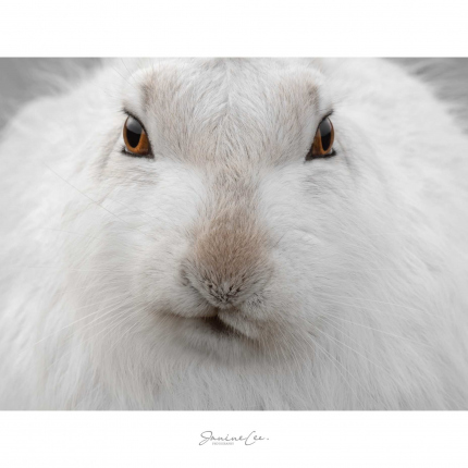 Inquisitive Mountain Hare